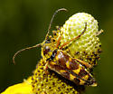 Lepturinae on Prairie Coneflower - Typocerus