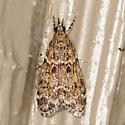 Moth - Eudonia echo
