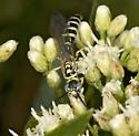 Myzinum for AZ BugGuide Gathering - Myzinum - male