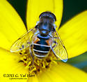 Bee Mimic - Eristalis arbustorum