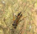 Small ichneumon? - Pristaulacus