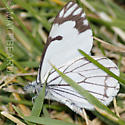 White Butterfly - Neophasia menapia - male