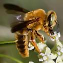 Bumble? Bee - Protoxaea gloriosa