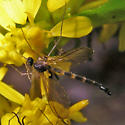 crane fly-shaped unknown flies - Lygistorrhina sanctaecatharinae - male