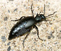 Blister Beetle - Meloe