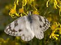 Whites, Sulphurs, Yellows - Family - Pieridae