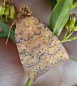 Owlet_Dotted Sallow Moth - Hodges#9961 - Anathix ralla