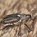 Scarabaeidae ? - Dichelonyx vicina