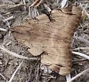 Moth  - Drasteria ochracea