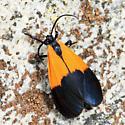 Black-and-yellow Lichen Moth - Lycomorpha pholus