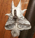 Large Tolype - Hodges#7670 - Tolype velleda