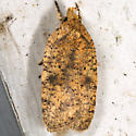 Thelma's Agonopterix - Agonopterix thelmae