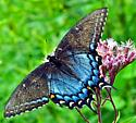 Papilio glaucus - female