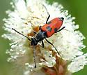 Dimorphic Flower Longhorn - Anastrangalia laetifica - female