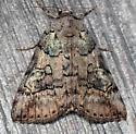 similar underwing - Catocala similis