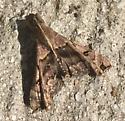 Cool moth - Palthis asopialis