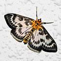 Small magpie moth - Anania hortulata