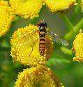 Syrphid Fly - Sphaerophoria - male