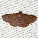 Antiblemma concinnula - Hodges #8579 - Antiblemma concinnula