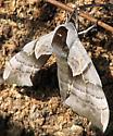 One-eyed Sphinx Moth - Smerinthus cerisyi - female