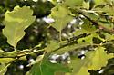 acrobat ants - Crematogaster cerasi - female