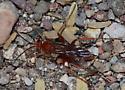 Red Spider Wasp - Tachypompilus unicolor