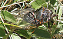 Cicada - Okanagana