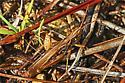 Admirable Grasshopper? - Orphulella pelidna