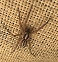 Southern California wolf spider - Schizocosa mccooki