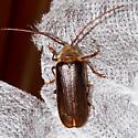 Tragosoma depsarium - Tragosoma harrisii