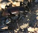 darkling beetle - Eleodes obscura