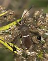Seed Bug - Leptoglossus phyllopus