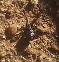 Spider10-15-2016 - Latrodectus