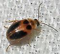 Unidentified Beetle - Sacodes pulchella