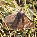 Moth with small, dark, post-median spots - Caenurgina erechtea