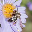 Very worn Xeromelecta? - Xeromelecta californica - female