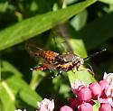 swamp milkweed sphinx - Melittia cucurbitae