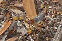 California swollenstinger scorpion - Anuroctonus pococki