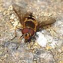 Tundra fly - Parasyrphus tarsatus - male