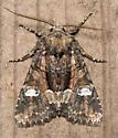 Wandering Brocade Moth - Fishia illocata - male