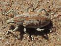 Sand Dunes Curculionidae - Apleurus albovestitus