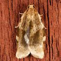 Broken-banded Leafroller - Choristoneura fractivittana