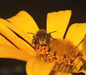 Megachilidae, frontal - Megachile mendica - male