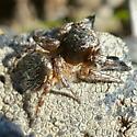 Salticidae: Habronattus hirsutus - Habronattus hirsutus