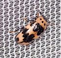 Small Pink and Black Beetle - Ischyrus quadripunctatus
