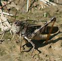 grasshopper with blunt head - Wrinkled Grasshopper? - Hippiscus ocelote - male
