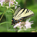Eastern Tiger Swallowtail - Hodges#4176 (Papilio glaucus) ? - Papilio glaucus