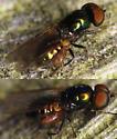 black-horned gem with parasite? - Microchrysa polita - male