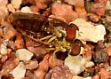 Soldier flies ? - Toxomerus politus - male