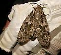 carpenterworm moth - Prionoxystus robiniae - female